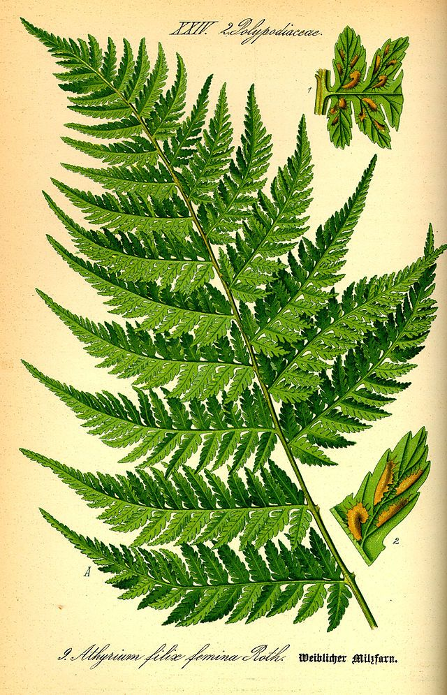 a study on c fern We will look at how ferns reproduce as well as the a fern life cycle: plant reproduction without flowers or studycom has thousands of articles about.