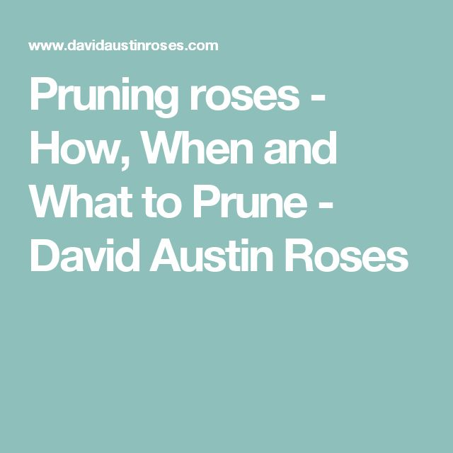 17 Best Ideas About Pruning Roses On Pinterest Rose Bush