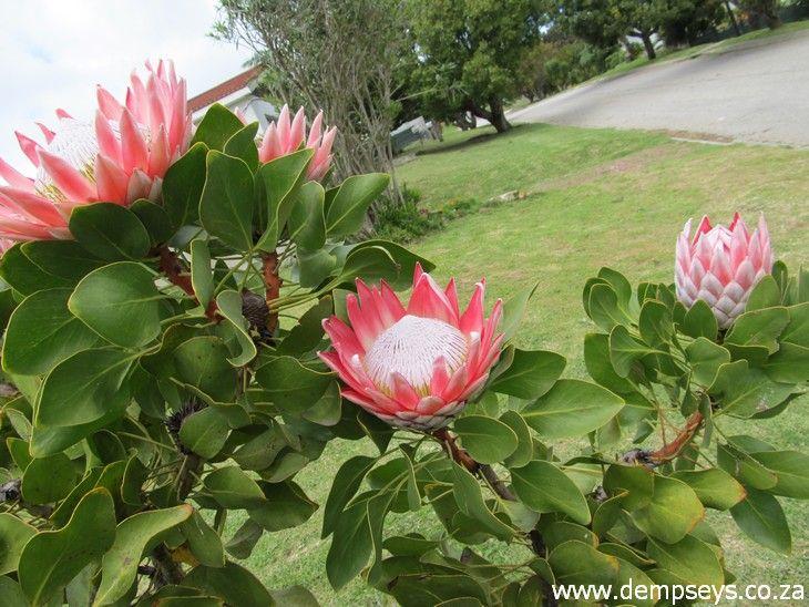 King Protea Bush