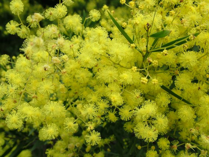 Acacia fimbriata (Fringed wattle) is a small tree growing up to 6m high but often smaller. It has narrow leaves and masses of fluffy yellow flower heads in spring. This popular wattle is widely grown, it is frost and drought hardy, adaptable to most soils and very decorative. Must be grown from seed. There is a dwarf form now available in some nurseries.