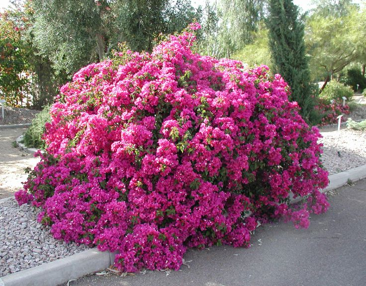 56 best plants images on pinterest succulents shrubs and bougainvillea bloom in so many colors is really beautiful and grows like crazy but bougainvilleaflowering mightylinksfo