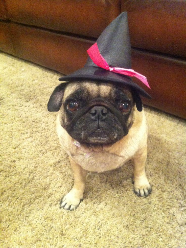molly is getting a treat this halloween she has me under her pug love spell - Pugs Halloween