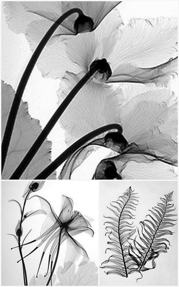 amazing flower radiographs
