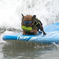 There Was a Doggie Surf Competition Over the Weekend and It Was Obviously Very, Very Cute