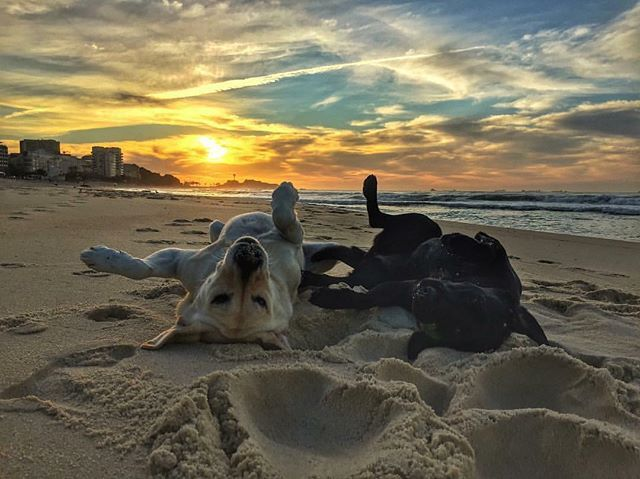 Two labs rolling in the sand