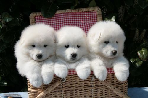 Samoyed puppies! Just the cutest!