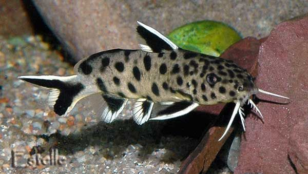 Love my new Synodontis Catfish I just added to my tank. So unique