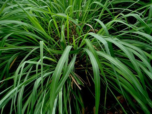 Citronella grass repels mosquitoes and is featured in insecticides