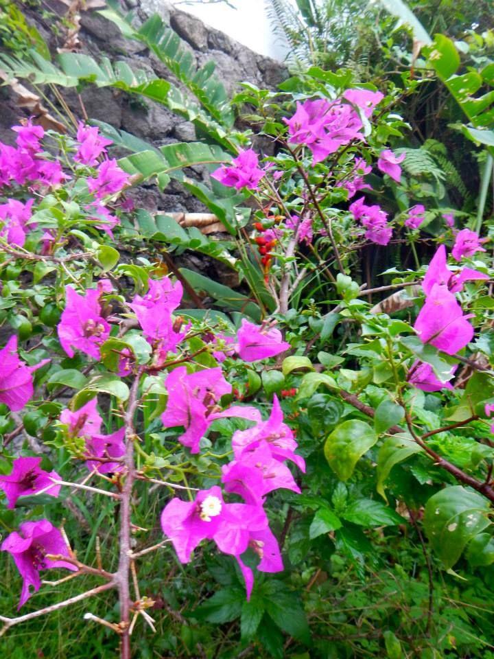 Bougainvillea Saba Dutch Caribbean Photo credit