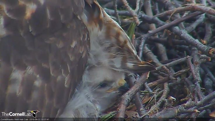 "RedBirdSPN on Twitter: ""10:37, 4/22 Peekaboo! @CornellHawks https://t.co/GGmrj0d9tK"""