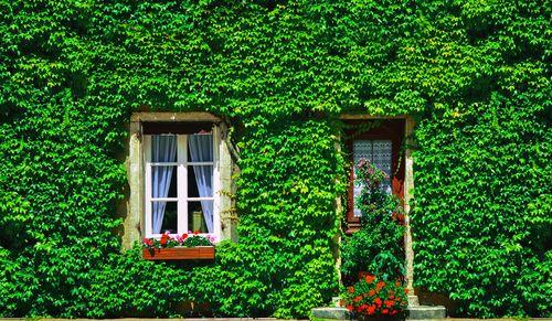 Brečtan - Jeden z najlepších čističov vzduchu