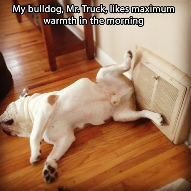 """""""My Bulldog, Mr. Truck, likes maximum warmth in the morning."""" ~ Dog Shaming shame - Bull Dog"""