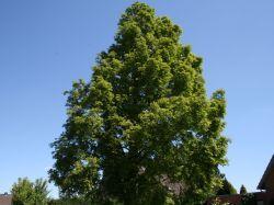 Urweltmammutbaum / Chinesisches Rotholz