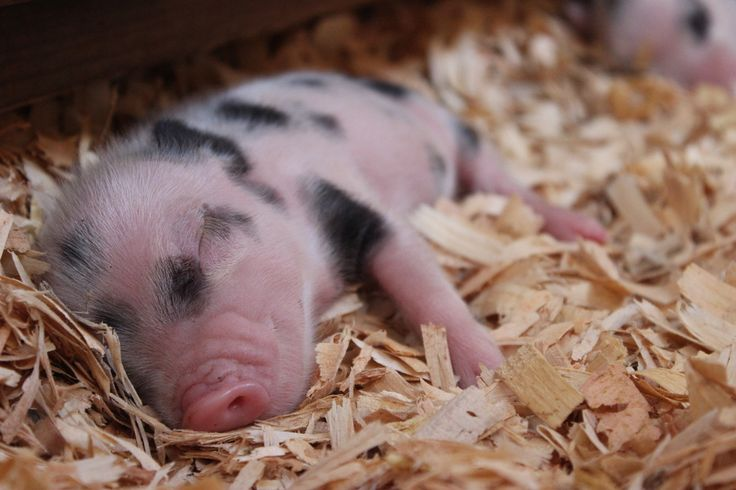 Caring for your Mini Pig - the Biggest Little Mini Farm