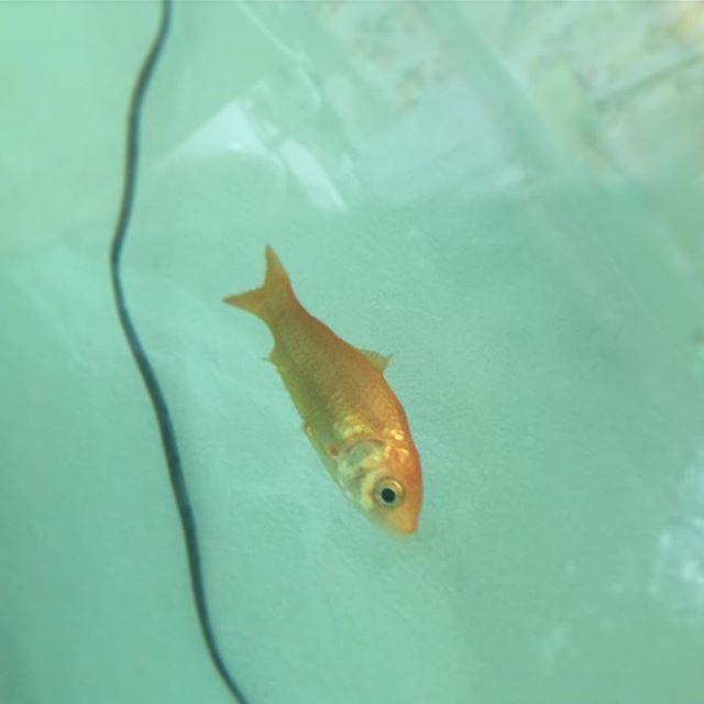 【anone.s】さんのInstagramをピンしています。 《金魚の幸子とあかねさん。 尾腐れ病でヒレがなくなってしまっています。 塩やお薬も投入。 少しでも長生きできるように最善を尽くして頑張っていきます😣 #金魚#きんぎょ#水槽#アクアリウム#金魚水槽#魚#ペット #goldfish#goldfishtank#goldfishunion #goldfishjunkie#GoldfishofInstagram #fancygoldfish#aquarium#fish#pet#病気#尾腐れ病》