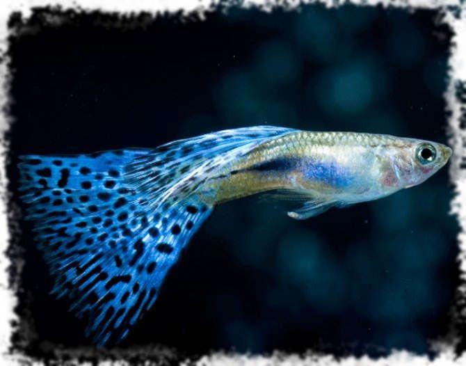 Виды гуппи | Гуппи, Рыбалка, Аквариумная рыбка
