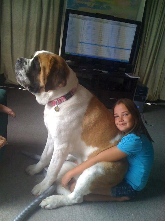 st bernards do love their family