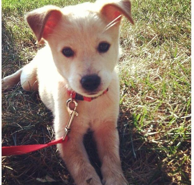 American dingo Carolina dog puppy