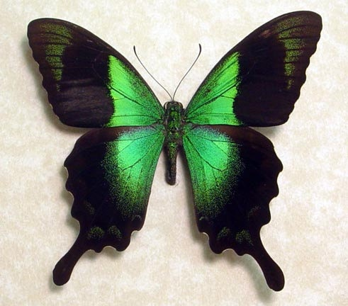 Papilio Peranthus Real Framed Green by REALBUTTERFLYGIFTS on Etsy, $39.99