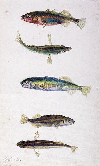 This is an image of Beatrix Potters watercolour titled Three spined and ten spined sticklebacks or Gastroteus aculeatus and gastroteus pungitius, Armitt Library