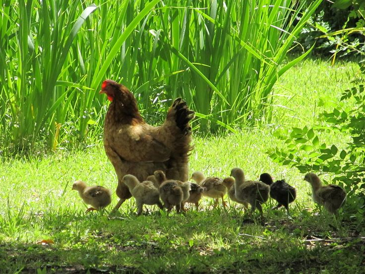 how to tell baby hens from roosters