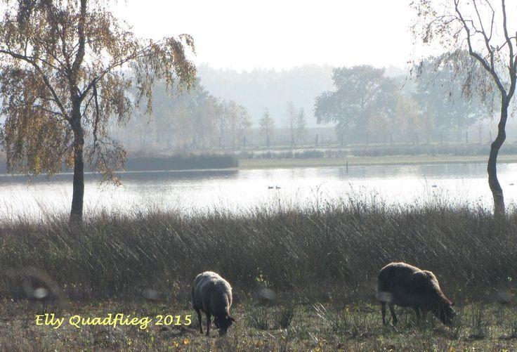 grazende schapen aan de klotteraar