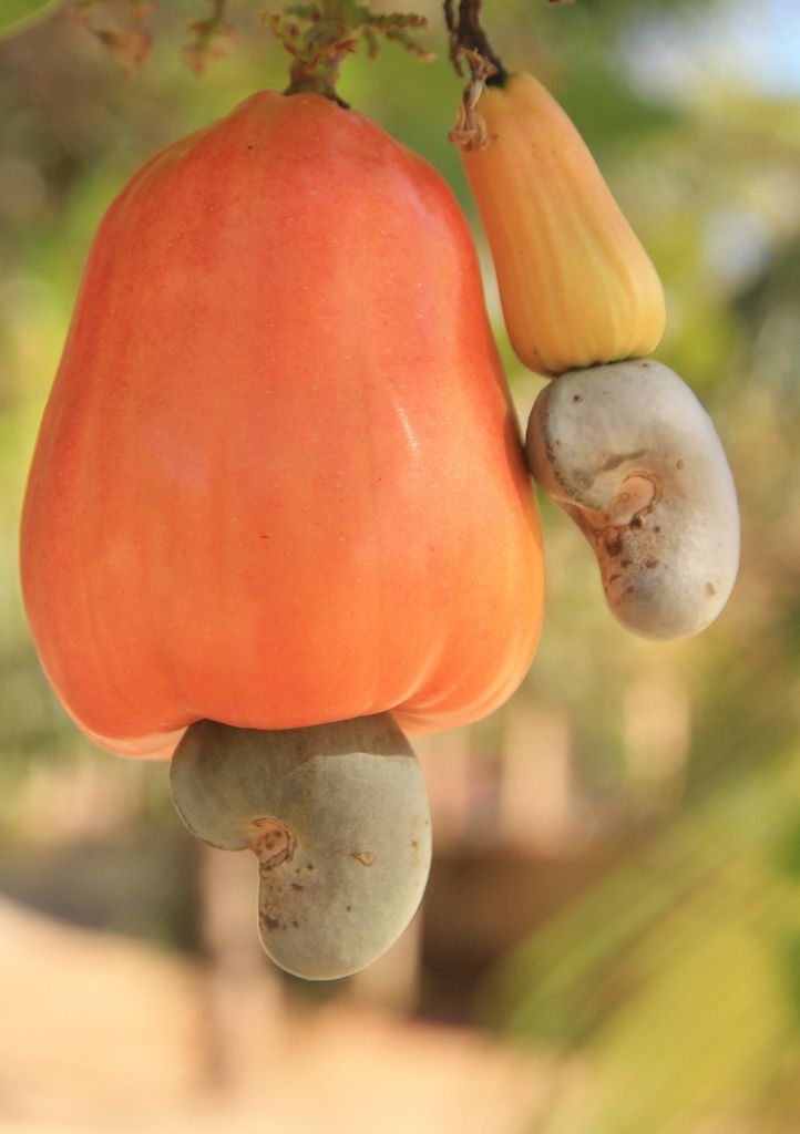 Cashew [Caju] tree [Anacardium occidentale; Family: Anacardiaceae] bearing the cashew-apple [Orange-colored] and the cashew nut [It's actually a seed] at the tip that is ripe and ready for harvesting. The cashew nut is served as a snack or used in recipes, like other nuts.  The cashew apple is a fruit, whose pulp can be processed into a sweet, astringent fruit drink or distilled into liqueur - Flickr - Photo Sharing!