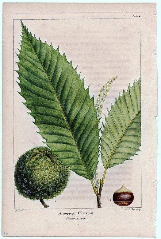 Image result for american chestnut
