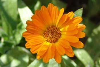 The October Birth Flower is the Marigold meaning sorrow or sympathy.