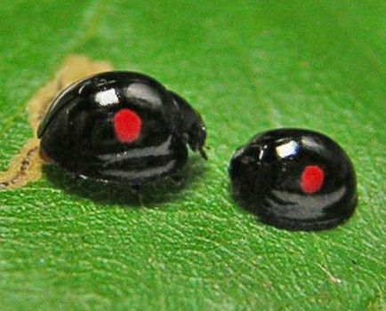 Black Ladybug | Recent Photos The Commons Getty Collection Galleries World Map App ...