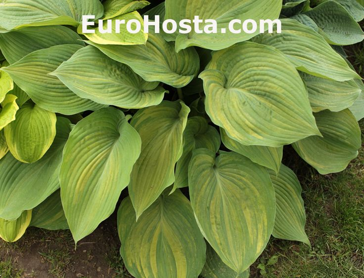 Hosta Buffalo Bill