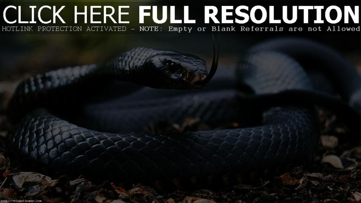 Top  Most Wonderful Snake Wallpapers In HD 1920×1440 Snake Images Wallpapers (42 Wallpapers) | Adorable Wallpapers