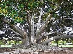 We used to climb this tree growing up. Go visit Santa Barbara's Moreton Bay Fig Tree. Believed to be the largest Ficus macrophylla in the United States.  A seaman, visiting Santa Barbara In 1876, presented a seedling of an Australian Moreton Bay Fig tree to a local girl who planted it. The tree was officially designated as a historic landmark in 1970, and the property was deeded to the City of Santa Barbara in 1976.