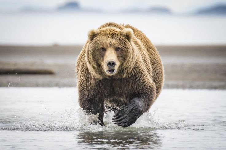 """""""Hallo Brown Bear"""" by Jess Bray (Australia) 