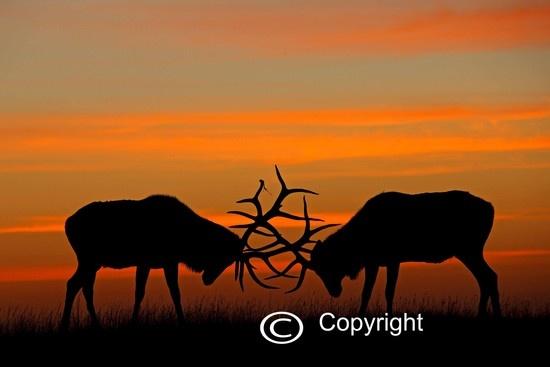 215 Best Images About Animals Land Deer Elk Moose