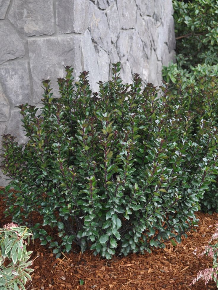Ilex X Meserveae Little Rascal Holly Flora