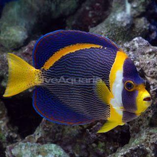 Scribbled angelfish (Chaetodontoplus duboulayi é um peixe-anjo marinho do Indo-oeste do oceano Pacífico. Ela ocasionalmente faz o seu caminho para o comércio do aquário. Ela cresce para um tamanho de 28 cm de comprimento.