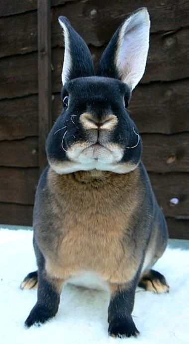 Black Otter Rex Rabbit Pet rabbit, Cute animals, Black
