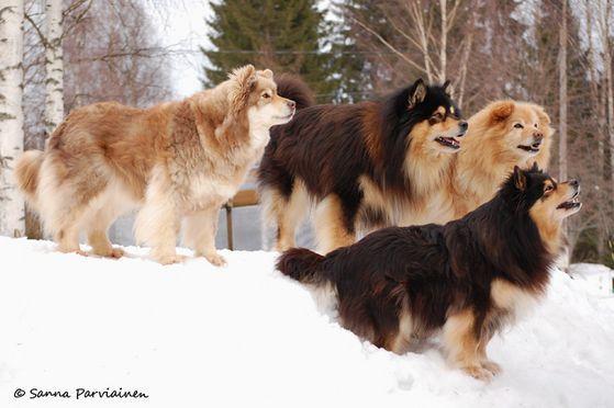Miskajasmin koiria ja Talvi-pennut 2.4.2011 - parviasa.1g.fi