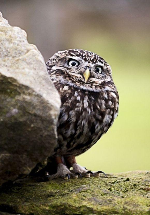 Cute Owls   Cutest Paw