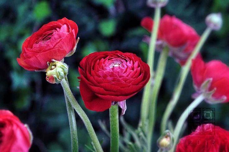 Ranunculus Red I