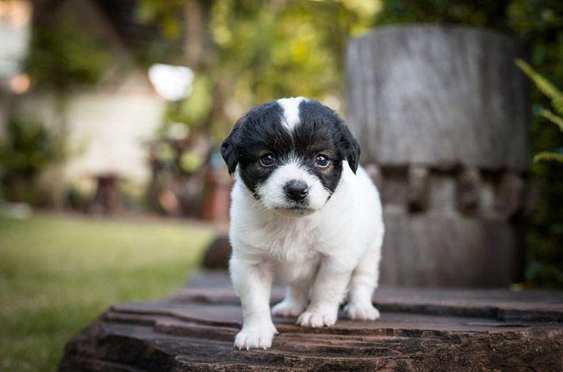 French Boodle Dog Breeds French Bulldog Mix Bulldog Puppies