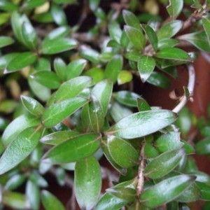 Image result for coprosma yvonne