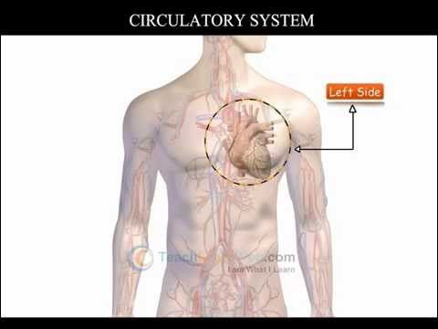 CBSE Science class 3 demo THE HUMAN BODY THE CIRCULATORY SYSTEM