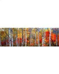 BIRCH FOREST-FRENCH ALPS