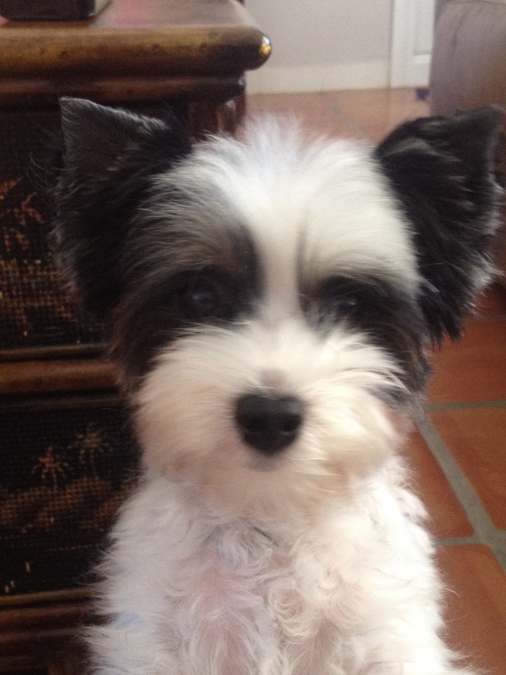 My Biewer Terrier, lola
