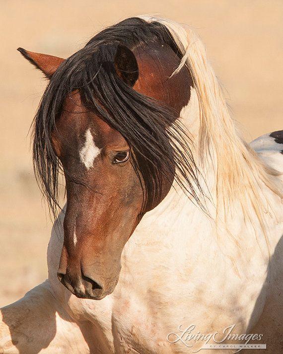 Warbonnet Strikes by Carol Walker  Wild stallion of McCullough Peaks  www.LivingImagesCJW.com