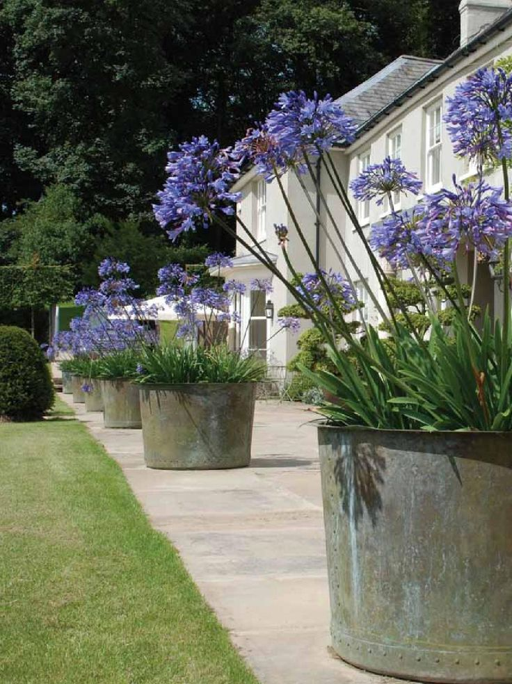 Agapanthus - great plants for pots - Evergreen and colourful against the white walls.