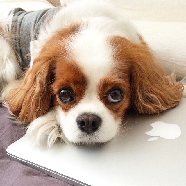 Abbey Bella - I'm tired of fighting for lap space. It's either the lap dog, or the laptop. Cavalier King Charles Spaniel