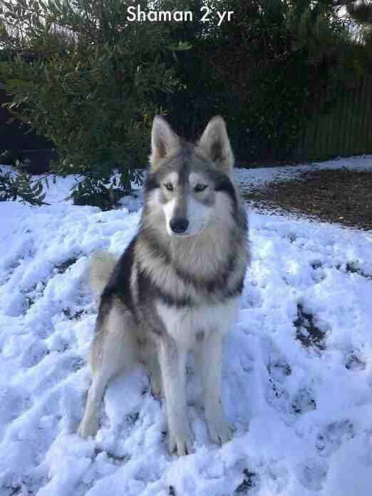 Shaman: northern inuit dog